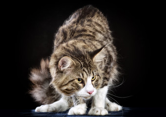 Cat. Breed - the Maine Coon