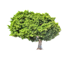 Big green lush tree isolated on white background.