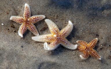 Drei kleine Seesterne