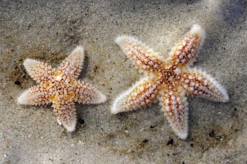 Kleine Seesterne