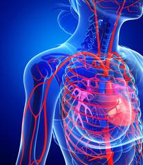 Female heart arteries
