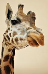 """Giraffe 1"""