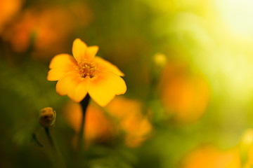 Sommerblume - Tagetes