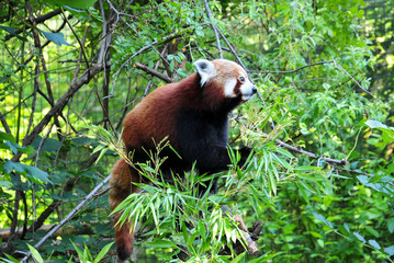 """""""Roter Panda Schönbrunn"""""""
