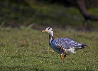 Bar Headed Goose (Anser Indicus)