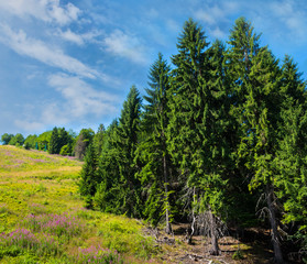 Coniferous forest on a mountain slope.