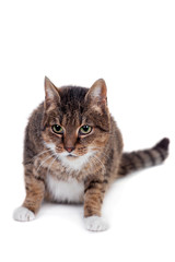 Thin adult tabby cat
