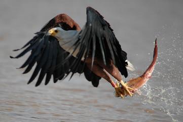 Fish eagle attacks fish at Naivasha Lake, Kenya