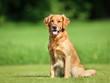 Golden retriever dog - 67967166