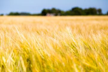 Blurred Grain field