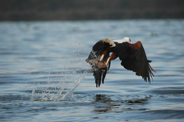 African fish eagle attacks fish at Naivasha Lake, Kenya