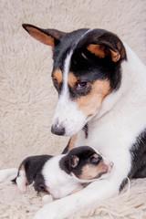 Newborn basenji puppy with mother