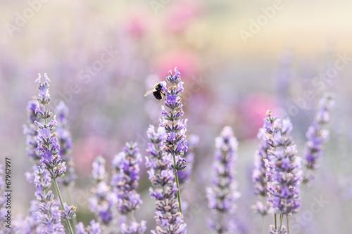 Staande foto Lavendel Lavender