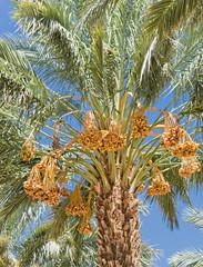 Ripening dates on palms