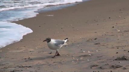 Seagull walking along a beach