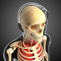 Male head anatomy