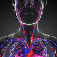 Female neck circulatory system
