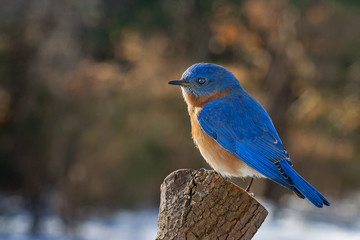An eastern blue bird perched on a stump in the winter