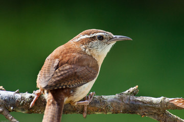 A portrait of a Carolina wren