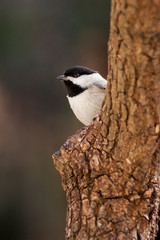 A Carolina chickadee peeking out from behind a pine tree