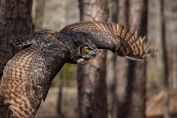 A great horned owl flying through a North Carolina forest