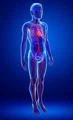 Human arterie anatomy