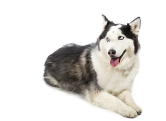 Alaskan Malamute or Husky Dog Isolated on White
