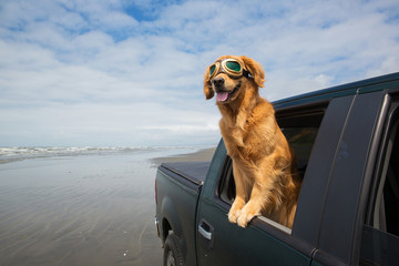 dog in aviator glasses driving in a truck