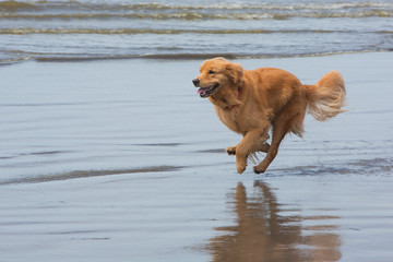 golden retriever dog running fast at the beach