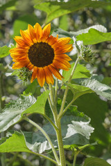 Sonnenblume - Blüte und Knospen