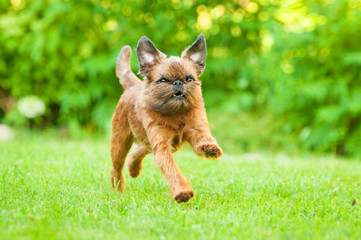 Brussels griffon dog running outdoors