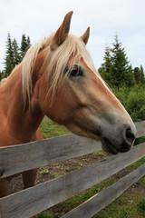 cavallo - Alpe di Siusi