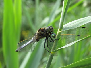 Blue Dragonfly Eating