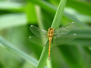 Green/yellow Dragonfly