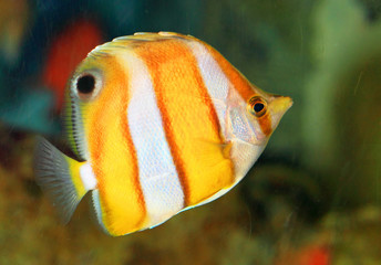 Brownbanded butterflyfish (Chaetodon modestus) in Japan