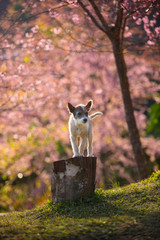 The little dog of Pink Cherry blossom at Chiangmai Thailand