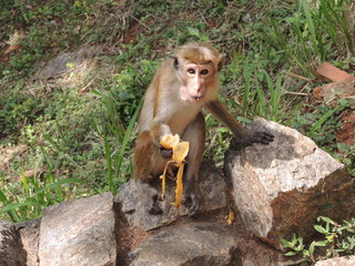 Monkey eating a banana in Sigiriya