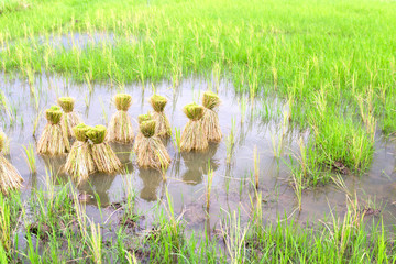 Round of seeding rice in the farm