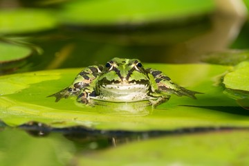 Front view of green frog sitting on a water lily leaf