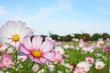 昭和記念公園、コスモスまつり