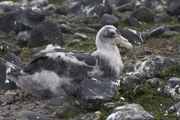 major southern giant petrel chick who sits in the nest