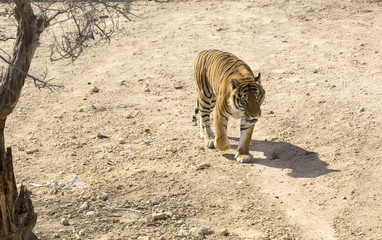 tiger in the wild in Africa