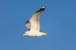 Möwe im blauen Himmel fliegend