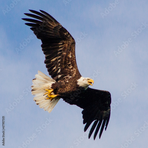 Foto op Plexiglas Eagle Young Eagle Flying