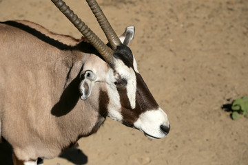 gemsbok or gemsbuck (Oryx gazella)