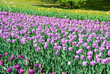 Tulipani in fiore