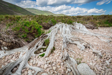 Roots at Loch Muick, Cairngorms NP, Scotland