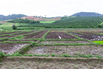 Rice field and garden in Thailand