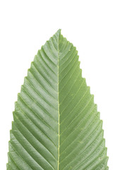 Fresh green leaf isolated.
