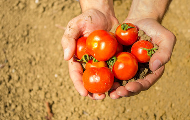 Close up on hands holding fresh tomatoes